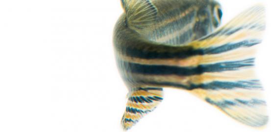 Le zebrafish — danio rerio